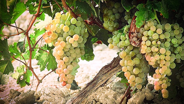Background: Palomino and other sherry grapes