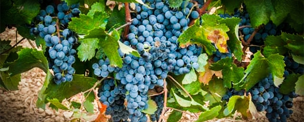 Tintilla de Rota grapes